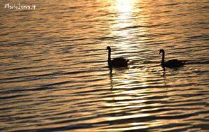 cigni al tramonto lago di logliano