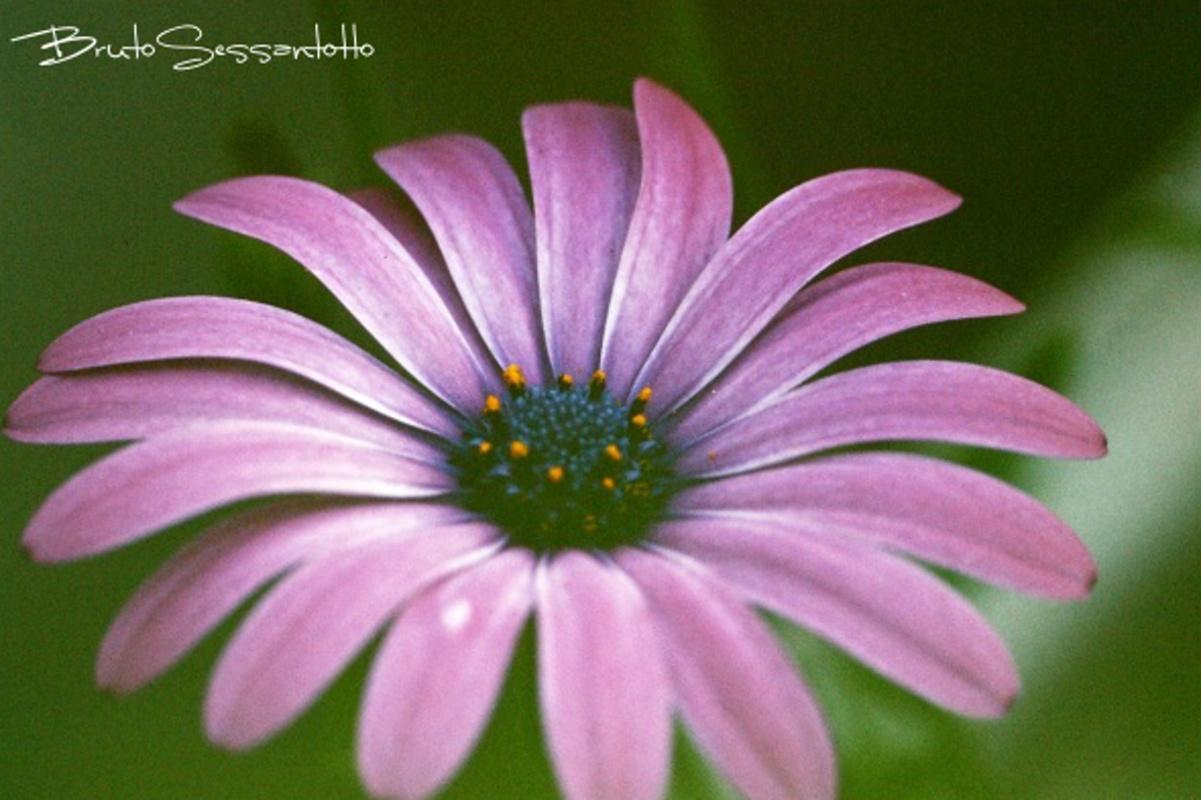 petali particolare